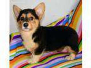 Puppyfindercom Pembroke Welsh Corgi Puppies For Sale Near Me In