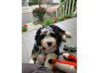 Mutt Puppy for sale in Lake City, FL, USA