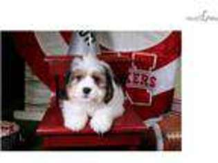 View Ad: Cavachon Puppy for Sale near Iowa, Sioux City, USA