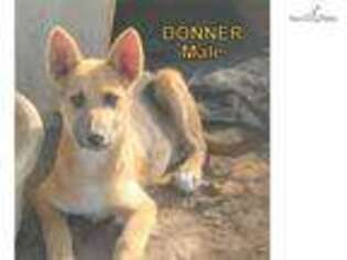 Wolf Hybrid Puppy for sale in Fort Smith, AR, USA