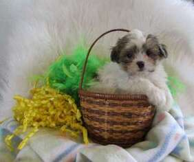 Puppyfinder com: Mal-Shi puppies puppies for sale near me in