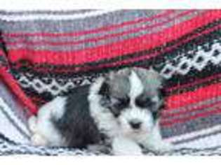 View Ad Havanese Puppy For Sale South Carolina Westminster Usa