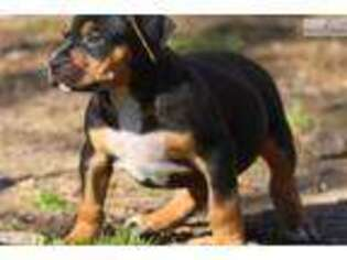 Mutt Puppy for sale in Little Rock, AR, USA
