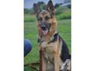 View Ad: German Shepherd Dog Puppy for Sale near New York
