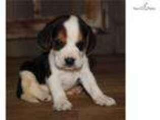 Beagle Puppy for sale in Jonesboro, AR, USA