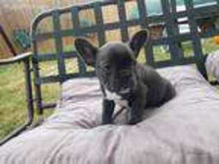 French Bulldog Puppy for sale in Little Elm, TX, USA
