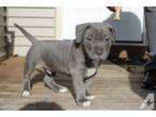 View Ad Mutt Puppy For Sale Massachusetts Springfield Usa