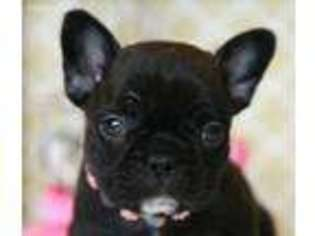 French Bulldog Puppy For Sale near West Plains, MO, USA