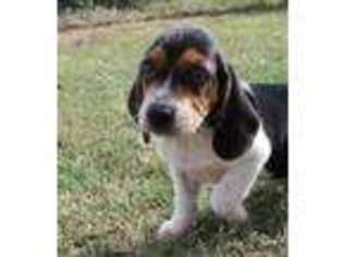 View Ad Beagle Puppy For Sale Florida Pembroke Pines Usa