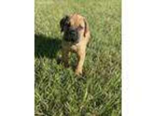 Cane Corso Puppy for sale in Tabor City, NC, USA