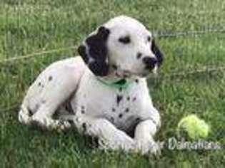 View Ad Dalmatian Puppy For Sale Missouri Laquey Usa