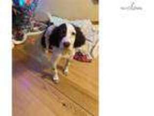 English Setter Puppy for sale in Minneapolis, MN, USA