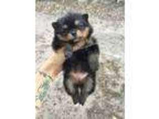 Pomeranian Puppy For Sale near Corpus Christi, TX, USA