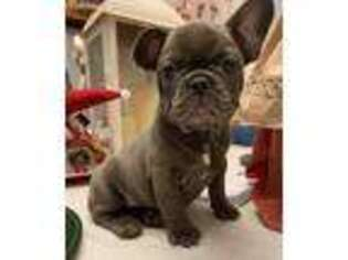 French Bulldog Puppy for sale in Lowell, MA, USA