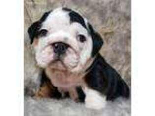 Bulldog Puppy for sale in Bakersfield, CA, USA