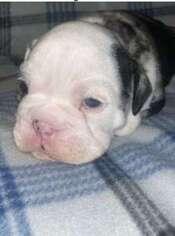 Bulldog Puppy for sale in San Jose, CA, USA