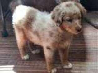 Australian Shepherd Puppy for sale in Montrose, CO, USA