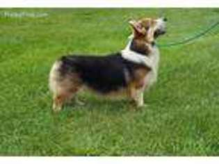 View Ad Pembroke Welsh Corgi Puppy For Sale Georgia Hawkinsville Usa