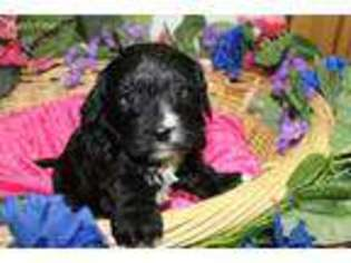 Puppyfindercom Cavachon Puppies Puppies For Sale Near Me