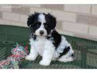 Havanese Dog For Adoption in Nappanee, IN, USA