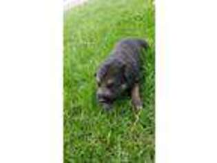 German Shepherd Dog Puppy for sale in Temperance, MI, USA