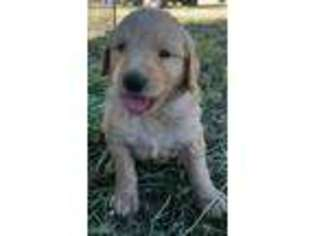 View Ad: Goldendoodle Puppy for Sale, California, Los Molinos, USA