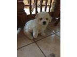 Puppyfinder com: Bichon Frise puppies for sale near me in