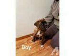 View Ad Boxer Puppy For Sale Wisconsin La Crosse Usa