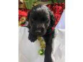 Labradoodle Puppy for sale in Lake Park, GA, USA