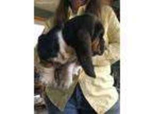 View Ad Basset Hound Puppy For Sale Wisconsin Marinette Usa