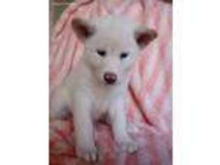 Akita Puppy for sale in Los Angeles, CA, USA