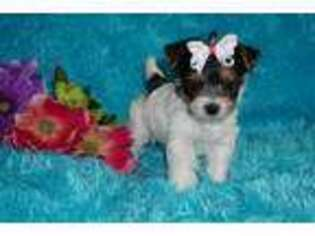 Yorkshire Terrier Puppy for sale in Cleveland, TN, USA