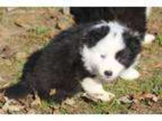 Border Collie Puppy for sale in Bloomfield, MO, USA