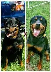 View Ad Rottweiler Puppy For Sale Near Texas Killeen Usa Adn