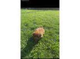 Mutt Puppy for sale in Clinton Township, MI, USA