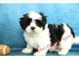 View Ad Mal Shi Puppy For Sale North Carolina Hickory Usa