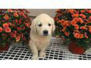 View Ad Golden Retriever Puppy For Sale Connecticut Darien Usa
