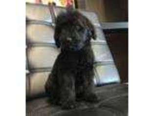 View Ad: Newfoundland Puppy for Sale near Kentucky