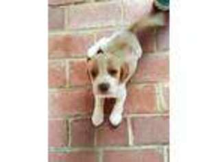 Puppyfindercom Beagle Puppies For Sale Near Me In Hendersonville