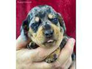 Dachshund Puppy for sale in Lansing, IA, USA