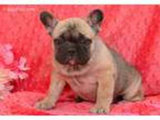 View Ad French Bulldog Puppy For Sale Pennsylvania Holtwood Usa