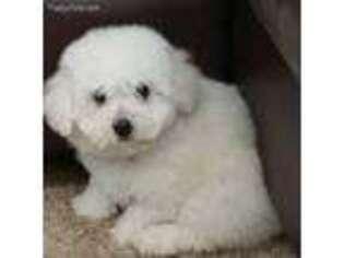 Bichon Frise Puppy for sale in Chicago, IL, USA