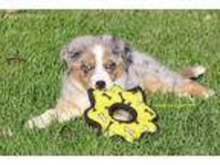 Puppyfinder com: Miniature Australian Shepherd puppies