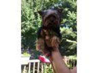 Yorkshire Terrier Puppy for sale in Burnsville, MN, USA