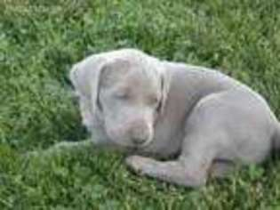 View Ad Weimaraner Puppy For Sale North Carolina Mount Airy Usa