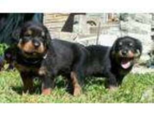View Ad Rottweiler Puppy For Sale New York Jamaica Usa