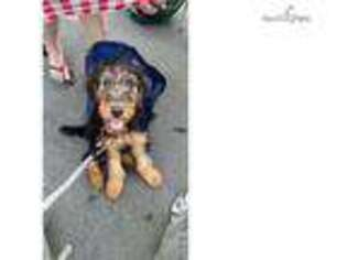 PuppyFinder com - View Ad: Photo #1 of Listing Airedale