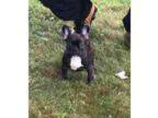 Mutt Puppy for sale in Limestone, TN, USA
