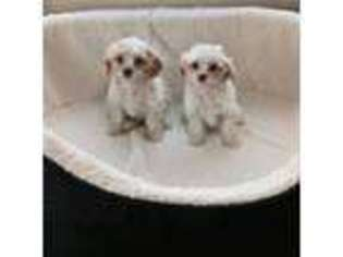 View Ad Cavapoo Puppy For Sale Greater London England Romford