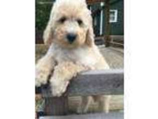 View Ad Goldendoodle Puppy For Sale Near Michigan Bellaire